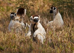 A Conspiracy of Sifakas (Susan Roehl) Tags: madagascar2017 largeislandoffthecoastofafrica lemur verreauxssifaka propithicusverrauxi endemictoisland modeoflocomotion hoppingsidewayswitharmsup patternoflocomotion 101speciesandsubspecies mediumsized indriidaefamily varietyofhabitats rainforest deciduousdryforests thicksilkyfur longtail arborealexistence smalltroops foursubspecies generally18yearsold sueroehl photographictours naturalexposures panasonic lumixdmcgh4 100400mmlens animal mammal herbivore conspiracy coth5 ngc