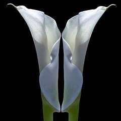 Calla Lilies (Pixel Fusion) Tags: nature nikon flora flower aperture macro d600 photoshop lily calla