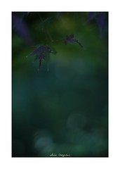 2018/11/24 - 15/18 photo by shin ikegami. - SONY ILCE‑7M2 / Lomography New Jupiter 3+ 1.5/50 L39/M (shin ikegami) Tags: 紅葉 sky 空 マクロ macro 花 井の頭公園 吉祥寺 autumn 秋 sony ilce7m2 sonyilce7m2 a7ii 50mm lomography lomoartlens newjupiter3 tokyo sonycamera photo photographer 単焦点 iso800 ndfilter light shadow 自然 nature 玉ボケ bokeh depthoffield naturephotography art photography japan earth asia