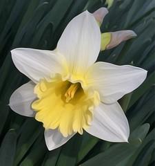 Daffodil (edited) (mohuski) Tags: natureplus oilpaintingeffect daffodil flower