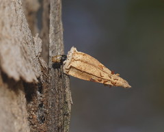 A different Case Moth. (ron_n_beths pics) Tags: westernaustralia perthbushlands casemoths hyalarctanigriscens