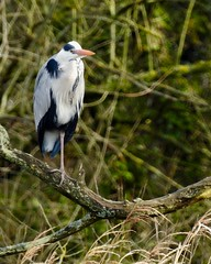 Heron (LouisaHocking) Tags: wild wildlife nature southwales creature bird british wales heron