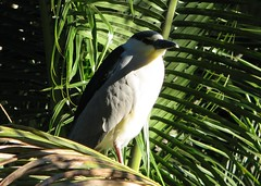 Nycticorax nycticorax --  Black-crowned Night Heron 4069 (Tangled Bank) Tags: palm beach county florida wild nature natural oudoors nycticorax blackcrowned night heron 4069