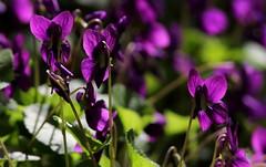 Competizione (lincerosso) Tags: fiori flowers pianteerbacee erbaceeperenni violamammola violaodorata primavera luce coloreviola bellezza armonia competizione