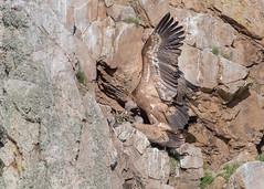 Griffon Vultures (mating) (tickspics ) Tags: monfragüenationalpark griffonvulture birds portilladeltiétar spain extremadura oldworldvultures europe accipitridae eurasiangriffon gypsfulvus parquenacionalmonfragüe