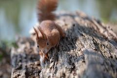 Trustworthy? (Joachim Dobler) Tags: eichhörnchen eichhoernchen squirrel écureuil ardilla scoiattolo equito nature natur nagetier wildlife animal cute naturephotography squirrellove wildlifephotography bestsquirrel nutsaboutsquirrels cuteanimals