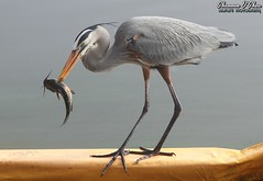 Dude, you are definitely getting catfished (Shannon Rose O'Shea) Tags: shannonroseoshea shannonosheawildlifephotography shannonoshea shannon greatblueheron heron bird beak feathers wings skinnylegs birdyfeet longtoes blue catfish fish fishing catchoftheday circlebbarreserve lakeland florida nature wildlife waterfowl outdoors outdoor outside colorful colourful art photo photography photograph wild wildlifephotography wildlifephotographer wildlifephotograph femalephotographer girlphotographer womanphotographer shootlikeagirl shootwithacamera throughherlens ardeaherodias fauna water lake lakehancock camera canon canoneos80d canon80d canon100400mm14556lisiiusm eos80d eos 80d 2018 flickr smugmug wwwflickrcomphotosshannonroseoshea siluriforme headfeathers