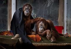 Family portrait (rick miller foto) Tags: mirrorless tamron70200 canoneosr zoophotography apes animals torontozoo winterbreak boxingdayexcursions canada ontario toronto zoo family portrait orangutang orangutan