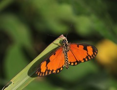 Small Orange Acraea (douwesvincent) Tags: uganda africa nature world outdoor natural beauty