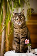 Pretty as a flower (SolsticeSol) Tags: cat cute love pets flower portrait greeneyes tabby beautiful