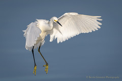 Snowy Egret (Kevin James54) Tags: egrettathula nikond850 snowyegret tamron150600mm wilmington animals avian bird fortfisher kevingianniniphotocom