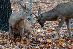SurpriseAttack (jmishefske) Tags: wehr nikon nature d500 center whitnall milwaukee franklin january antler wildlife rack wisconsin whitetail surprise park buck 2019 deer attack