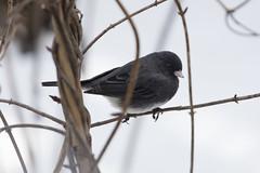 Dark-eyed Junco (Phil Wollenberg) Tags: darkeyed junco wollenberg ohio bird winter dawes arboretum