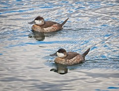 Ruddy Ducks (Goggla) Tags: centralpark ruddyduck nyc new york manhattan central park urban wildlife bird ruddy duck
