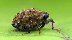 Weevil, Piazurus sp., Curculionidae (Ecuador Megadiverso) Tags: andreaskay beetle coleoptera conoderinae curculionidae ecuador focusstack piazurussp weevil