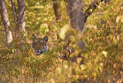 A wild bengal tiger in the jungles of India (WhiteEye2) Tags: tiger wild bengaltiger nature wildlife india ranthambhorenationalpark bigcats beautiful