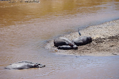 Maasai Mara, Kenya (Ninara31) Tags: safari kenya maasai maasaimara masai wildlife wildanimal hippo hippopotamus africa