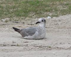 Laughing Gull, Leucophaeus atricilla (tripp.davenport) Tags: texascitydike texascity galvestoncounty tx birds leucophaeusatricilla laughinggull