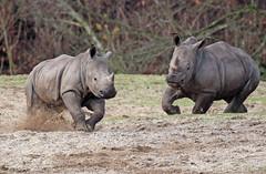 white rhino Burgerszoo 094A1003 (j.a.kok) Tags: rhino rhinoceros witteneushoorn neushoorn whiterhino breedlipneushoorn animal mammal zoogdier dier africa afrika burgerszoo burgerzoo
