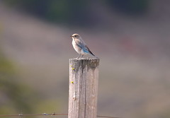 Mountain Bluebird (Neal D) Tags: bc whitelake bird bluebird mountainbluebird sialiacurrucoides