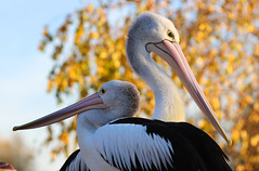 United (chtimageur) Tags: birds pairidaiza belgium animals pelikan nature wildlife canon6dmarkii canon135f20l