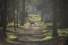 IMG_8282 (Pfluegl) Tags: wien vienna zentralfriedhof graveyard europe eu europa österreich austria chpfluegl chpflügl christian pflügl pfluegl spring frühling simmering reh rehe deer animal tier ngc