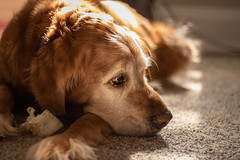 Bucky (samwaree) Tags: canon dog golden retriever bucky red warm bokeh tired animal pet portrait t6s t6 t6i 50mm 90mm flash indoor sun bright cute