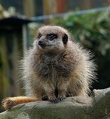 Meerkat (eeeyore94) Tags: meerkat fluffy spiky curious fuji xt2 brown grey sparkling eyes xf 1855