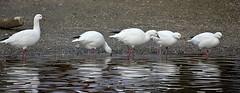 Geese. (carolinejohnston2) Tags: birds wildlife wildfowl nature white waterfowl ireland castleespie codown