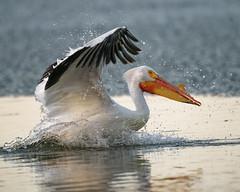 White Pelican Lands (dcstep) Tags: pelican feeding americanwhitepelican cherrycreekstatepark cherrycreekreservoir water lake reservoir bird sonya9 handheld fe400mmf28gmoss fe20xteleconverter allrightsreserved copyright2019davidcstephens dxophotolab220 dxoprimenoisereduction dsc9198dxo