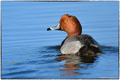 Redhead (RKop) Tags: apollobeach florida raphaelkopanphotography d500 600mmf4evr redhead nikon