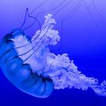 Pacific Sea Nettle (Chrysaora fuscescens) at Texas State Aquarium thumbnail