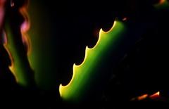 Jagged edge (johnlauper) Tags: leaf botanical backlit cactus christmascactus