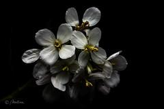 Low key (molina09) Tags: molina nikon d800 flores low fondonegro