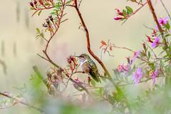 Volcano Hummingbird  *Colibri flammule** Costa Rica (geolis06) Tags: geolis06 amérique america costarica nature oiseau bird pájaro ave nikon nikond7200 sigma150600mmf563contemporary selasphorusflammulatorridus volcanohummingbird colibriflammule naturecostarica oiseauxcostarica