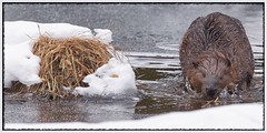 Just Can't Shake It Off (Note-ables by Lynn) Tags: beaver animal handganimalsonly algonquinpark
