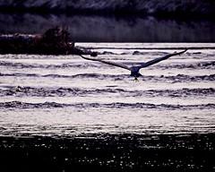 Blauwe Reiger (d50harry123) Tags: wildlife wildlifephotographer reiger bird birdphotography nikon d750 sigma highiso flying