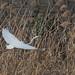 Great egret (Ardea alba, ダイサギ)