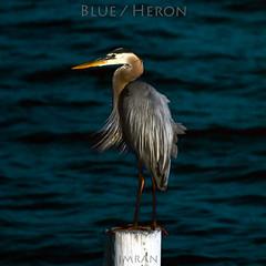 Blue / Heron / Great! - IMRAN™ (ImranAnwar) Tags: heronpointe greatblueheron contrast tampabay seaside nature water heron dock birds imrananwar apollobeach imran florida unitedstatesofamerica us