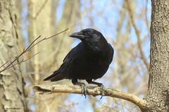 American Crow (Lois McNaught) Tags: americancrow bird avian nature wildlife hamilton ontario canada