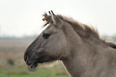 Konik pony (hedgehoggarden1) Tags: konik pony animal creature sonycybershot burwellfen cambridgeshire eastanglia uk equine sony