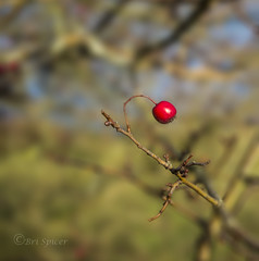 Splash of red (Through Bri`s Lens) Tags: sussex hawethorn tree canon5dmk3 canon1635f4 brianspicer