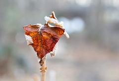 Day 33 of 365 - 3.00pm (gcarmilla) Tags: leaf foglia winter inverno invierno secca dry explored bokeh inexplore explore brown marrone