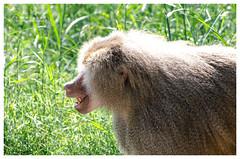 wildlife (captured-beauty) Tags: dipzkathait dipzkathaitphotographer baboon nature wildanimal monkey natgeo wildlife