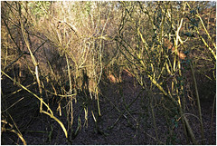 im korkus 285 (beauty of all things) Tags: eschweiler wald forest imkorkus gestrypp gestrüpp scrub wirrwarr tangle entropy selfs thephotographersshadow dschungel jungle
