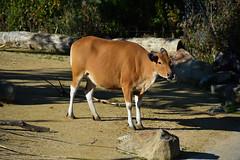 Banteng (Bos javanicus) (Seventh Heaven Photography) Tags: banteng tembadau cattle animal mammal bos javanicus bosjavanicus chester zoo cheshire england nikond3200 endangered