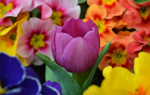 Обои Цветы, Весна, Тюльпан, Flowers, Spring, Tulip, примула, Purple tulip, Фиолетовый тюльпан, Primrose картинки на рабочий стол, раздел цветы - скачать