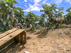 Alf 0001 - 0484 (Alf Ribeiro) Tags: agribusiness agriculture brazil rural agricultural america crop cut farm farmland field fig figs food fresh fruit green immaturity leaves nature outdoor plant production raw south tree