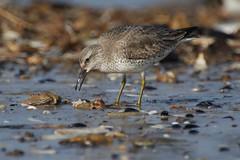 IMGP3201c Knot (feeding on dead crab), Titchwell beach, February 2017 (bobchappell55) Tags: titchwell beach norfolk wild wildlife nature bird wader knot feeding calidriscanutus