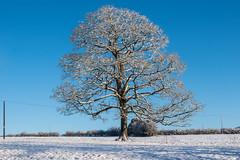 Just a tree... (Maria-H) Tags: tree snow winter glossop highpeak derbyshire uk olympus omdem1markii panasonic 1235